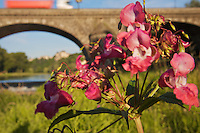 Flowers of Himalayan balsam (Impatiens glandullifera), an invasive plant species, at the bridge of Pont-du-Chateau with the castle/Mayor's House in the background. Pont-du-Chateau, Auvergne, France.