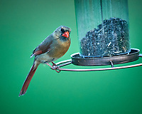 Female Cardinal at the Bird Feeder. Image taken with a Nikon D4 camera and 600 mm f/4 VR telephoto lens
