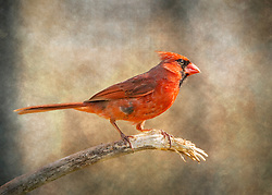 A Male Northern Cardinal Perched On a Branch With A textured Backdrop
