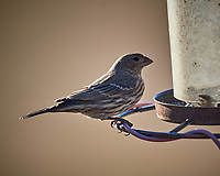 Female House Finch. Image taken with a Nikon D5 camera and 600 mm f/4 VR lens (ISO 320, 600 mm, f/4, 1/1250 sec)