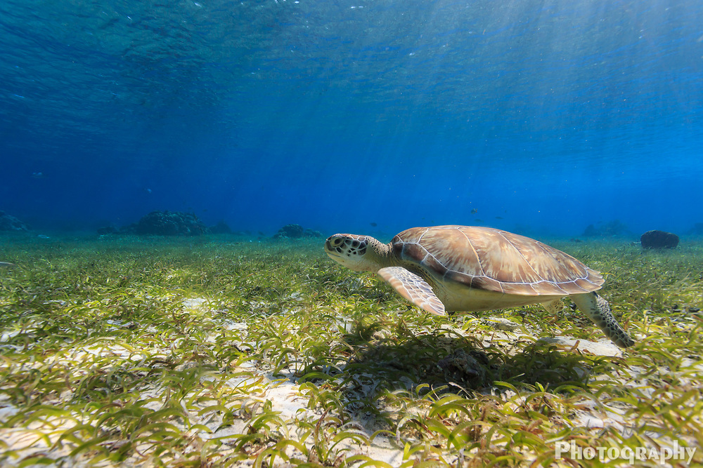 Green sea turtle, Chelonia mydas, swimming along ocean bed foraging for food