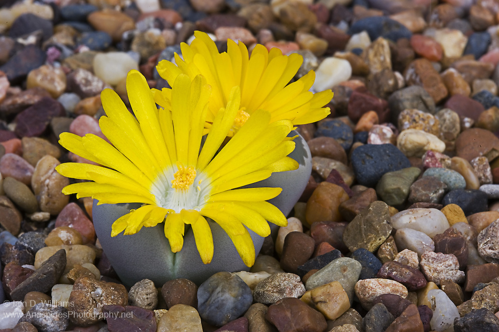 Desert Lithops (L. lesliei) - Namibia..Small succulents that are endemic to the deserts of Namibia,  Often called living stones by succulent collectors