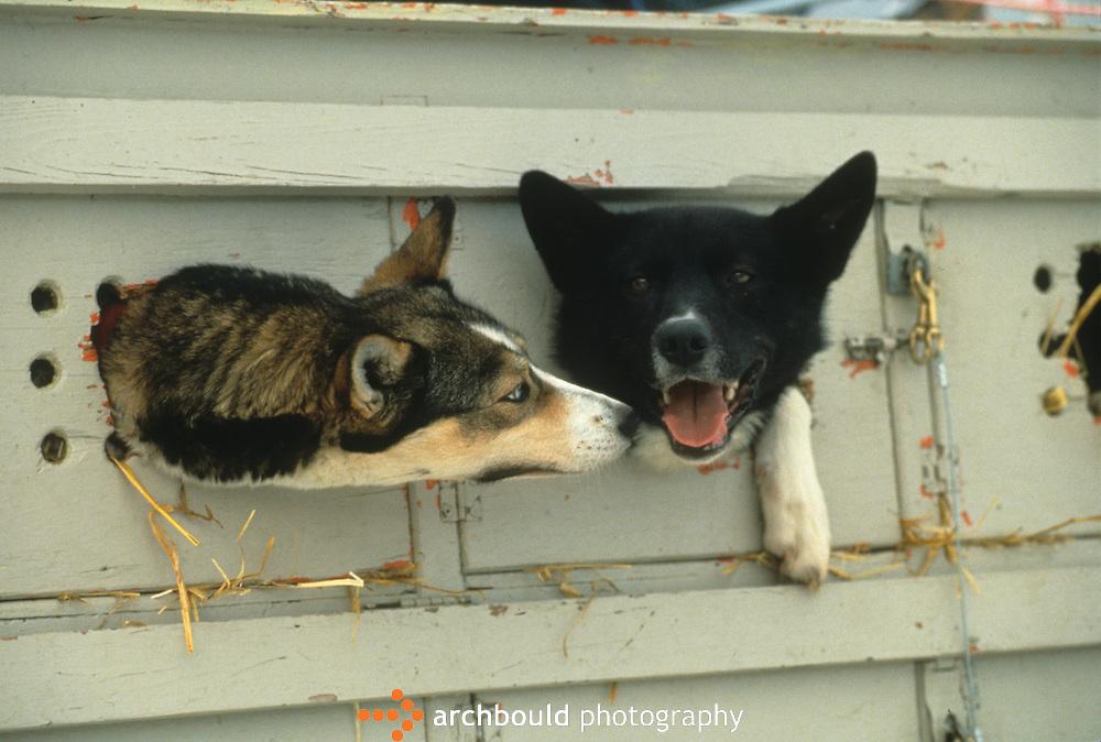 Sled dogs, Yukon Canada