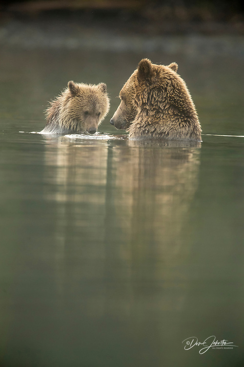 Grizzly bear (Ursus arctos)- Mother bear and cub eating and sharing spawning sockeye salmon caught in the Chilko River, Chilcotin Wilderness, BC Interior, Canada