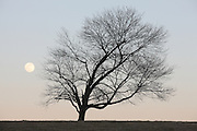 Tree with moon in farm pasture.