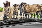 Nederland, Nijmegen, 15-3-2020 Dit weekend was er een kleine hoogwaterpiek. In Nijmegen en de aangrenzende Ooijpolder gingen veel dagjesmensen een wandeling maken langs het water .  Konikpaarden zoeken de hoge delen op en komen daar ook de mensen tegen. De konik is een wild paard. De Koniks leven hier langs de rivier. De Koniks leven hier langs de rivier. Deze auto staat in het pad van de paarden. Ze bleven minutenlang staan en snuffelen en liepen er uiteindelijk omheen. De bestuurder bleef rustig wachten zonder te toeteren of andere acties te ondernemen, zoals het hoort . Mens versus dier .Foto: Flip Franssen
