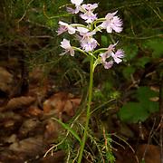 Large Purple Fringed Orchid, Habenaria fimbriata