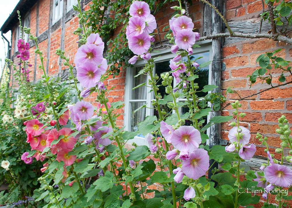 Holyhocks in front of the house at Wollerton Old Hall, Market Drayton, Shropshire, UK