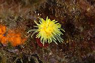 Yellow solitary coral-Corail solitaire jaune (Leptopsammia pruvoti) of mediterranean sea.