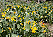 Mule ear (or woolly mule's ears; Wyethia mollis) is a flowering plant in the aster family. Off Highway 88 near Carson Pass, hike a varied loop through lush wildflower fields from Woods Lake Campground to Winnnemucca Lake then Round Top Lake, in Mokelumne Wilderness, Eldorado National Forest, Sierra Nevada, California, USA. The excellent loop trail is 5.3 miles with 1250 feet gain (or 6.4 miles with 2170 feet gain if adding the scramble up Round Top).