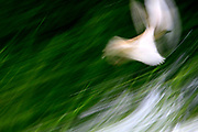 soft focus motion blur white bird flying over green grass