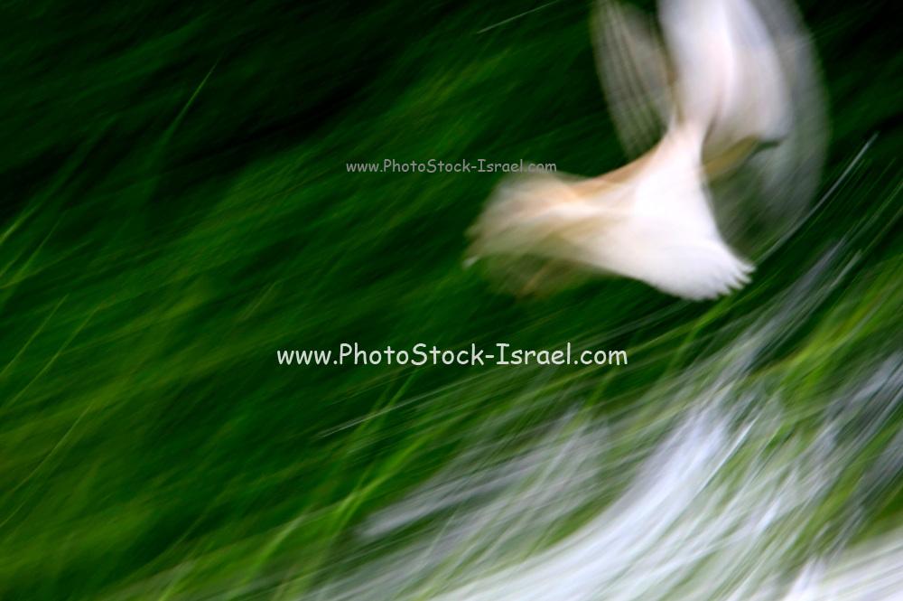 soft focus motion blur white bird flying over green grass