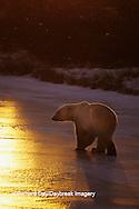 01874-01506 Polar Bear (Ursus maritimus)  walking on frozen pond at sunset Churchill  MB