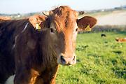 Brown Guernsey cow bullock, Guernsey