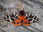 Garden Tiger Moth, Arctia caja, adult on bark, wings open showing eye spots, Northumberland, UK