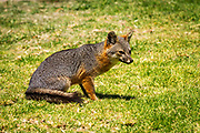 Island Fox (Urocyon littoralis),  Santa Cruz Island, Channel Islands National Park, California USA