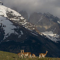Guanacos (Lama guanicoe) stand in front of Monte Almirante Nieto in Torres del Paine National Park in Patagonia, Chile.