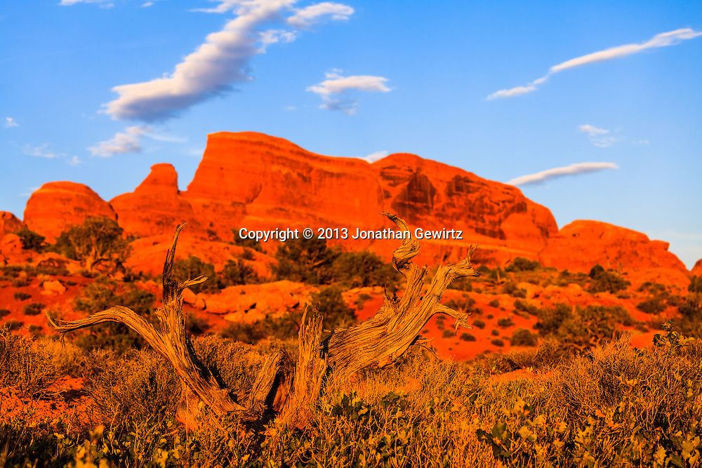 A gnarled desert tree bathes in warm light from the setting sun in Arches National Park, Utah. WATERMARKS WILL NOT APPEAR ON PRINTS OR LICENSED IMAGES.<br /> <br /> Licensing: https://tandemstock.com/assets/10569048