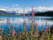 Fireweed blooms pink magenta at Summit Lake (3210 feet elevation) beneath the snowy Alaska Range, along the Richardson Highway near Paxson, in Alaska, USA.