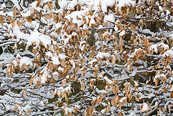 Beech hedge in snow. Fagus