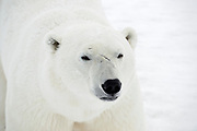 Polar Bear (Ursa maritimus) close up of face on sub-arctic Hudson Bay <br />