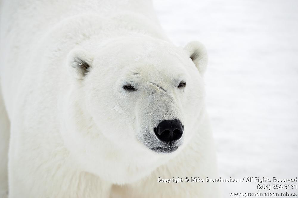 Polar Bear (Ursa maritimus) close up of face on sub-arctic Hudson Bay <br />Churchill<br />Manitoba<br />Canada
