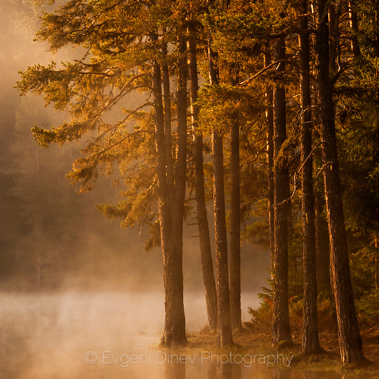 Pine forest by the lake at sunrise