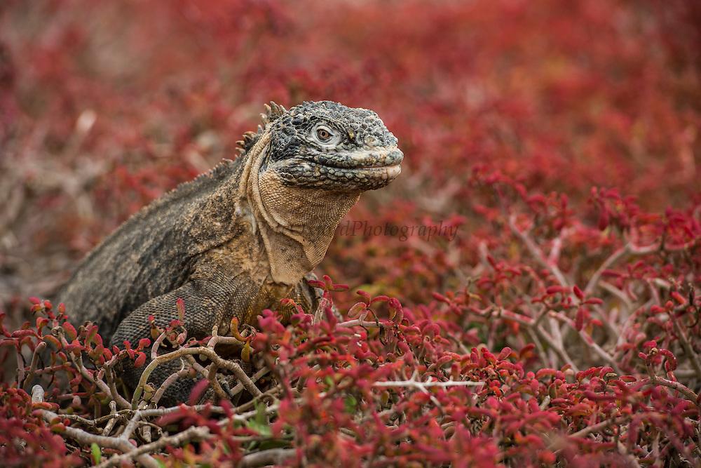 Galapagos Land Iguana (Conolophus subcristatus)<br /> South Plaza Island<br /> GALAPAGOS ISLANDS,<br /> Ecuador, South America<br /> ENDEMIC