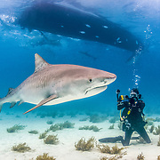Tiger shark (Galeocerdo cuvier) under boat with scuba diver in shallow waters off Grand Bahama Island, Bahamas.