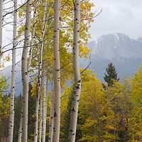 The Canadian Rockies tower above fall colored aspens in the Bow River Valley.