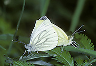Green-veined White Pieris napi  Wingspan 45-50mm. Adult recalls a Small White but has striking veins on wings: these are dark on upperwings, and greyish-green on underwings. Double-brooded: adult flies in spring and again in mid-summer. Larva is green with tiny white spots; feeds on Hedge Mustard, Garlic Mustard and related plants. Locally common, sometimes seen in gardens, but mainly associated with verges and open margins and rides in woodland.