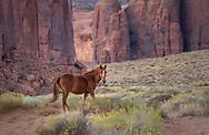 Free-roaming horse, Monument Valley, Arizona