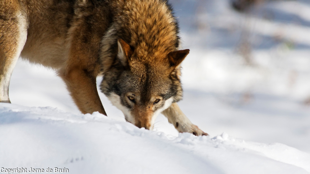 A wolf  is standingwith his snout in the snow in a snowy forest in the Bavarian National Forest Wildlife Park in Germany.