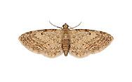 70.147 (1811)<br /> Slender Pug - Eupithecia tenuiata