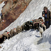 """Shepherds guide sheep across a snow field up to the alpine pass """"Hochjoch"""" at 2,856 meters above sea level, in the autonomous region of South Tyrol, Italy, June 9, 2018. Picture taken June 9, 2018. REUTERS/Lisi Niesner - RC14C5C146B0"""