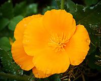 California Poppy flower. Image taken with a Nikon 1 V3 camera and 70-300 mm VR lens.