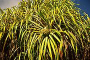 Hala plant, Hawaii<br />