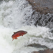 Yellowstone cutthroat trout (Oncorhynchus clarki bouvieri) jumping falls in Yellowstone National Park.
