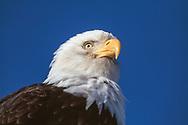 Bald eagle, head portrait from low angle with deep blue sky background, Alaska, © David A. Ponton