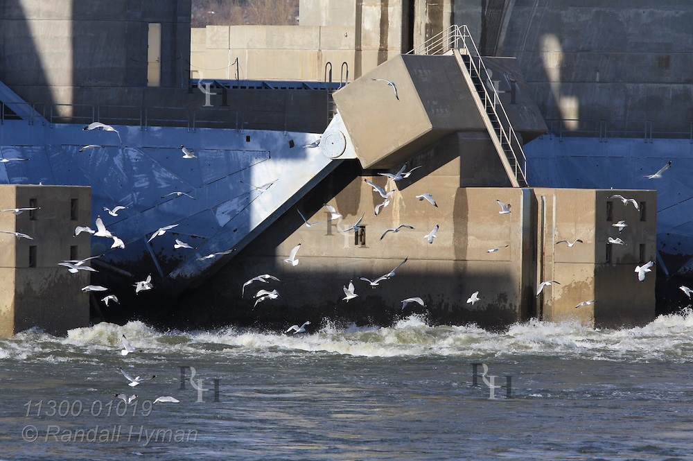 Sea gulls flock and fish in waters rushing from dam on Mississippi River in February at Alton, Illinois.