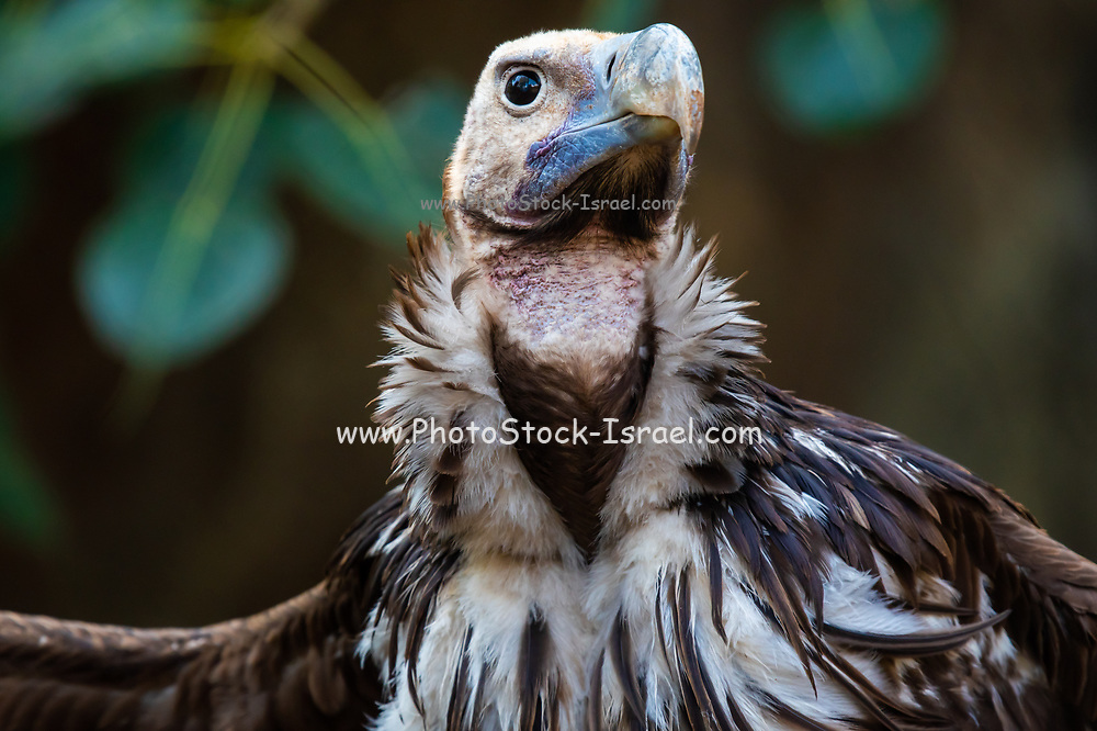 Portrait of a Griffon Vulture (Gyps fulvus). Griffon vultures are scavenger birds with a wingspan of between 230 and 265 centimetres. They are native to mountainous areas of the Mediterranean, Africa and Asia, and feed mainly on the carcasses of large mammals. Photographed in Israel at the Carmel Mountains Hai Bar wildlife sanctuary and breeding centre. These vultures are a breeding nucleus some will soon be released back to the wild
