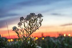 Prairie redroot (Ceanothus herbaceus) on Blackland Prairie remnant at dusk, White Rock Lake, Dallas,Texas, USA