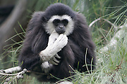 White-handed gibbon (Hylobates lar). This small arboreal (tree-dwelling) ape lives in tropical rainforests throughout Southeast Asia. It is extinct in China. It takes its name from its white hands and feet, although the rest of the coat varies between individuals from black to pale brown. It is predominantly herbivorous, eating flowers, leaves and fresh fruit.