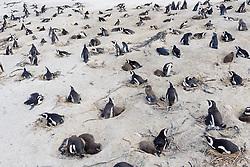 Spheniscus demersus, Brillenpinguine mit Nest bei der brutpflege, African penguins with nest and brood caring, or Jackass penguin or black-footed penguins, Suedafrica, Simons Town, False Bay, Boulders Beach, South Africa