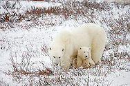 01874-110.01 Polar Bears (Ursus maritimus) female & 2 cubs near Hudson Bay, Churchill  MB, Canada