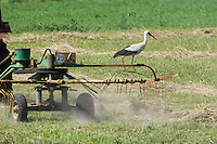 White stork (Ciconia ciconia) following tractor searching for insects amongst hay. Lithuania. Mission: Lithuania, June 2009