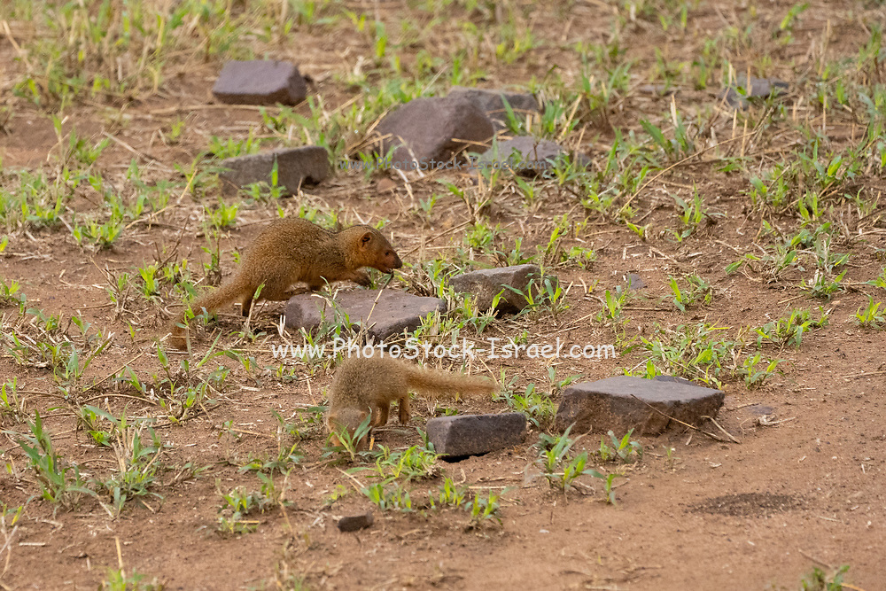 Common dwarf mongoose (Helogale parvula) foraging for food. Dwarf mongoose inhabit savannah, woodlands and mountain scrub across central and southern Africa. They have a body length of 18-26 centimetres, and are considerably smaller than other mongooses, which are around 40cm in length. They hunt small vertebrates and insects during the day. Photographed in Serengeti National Park, Tanzania