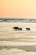 Alaska. Barrow. Polar bears crossing the ice