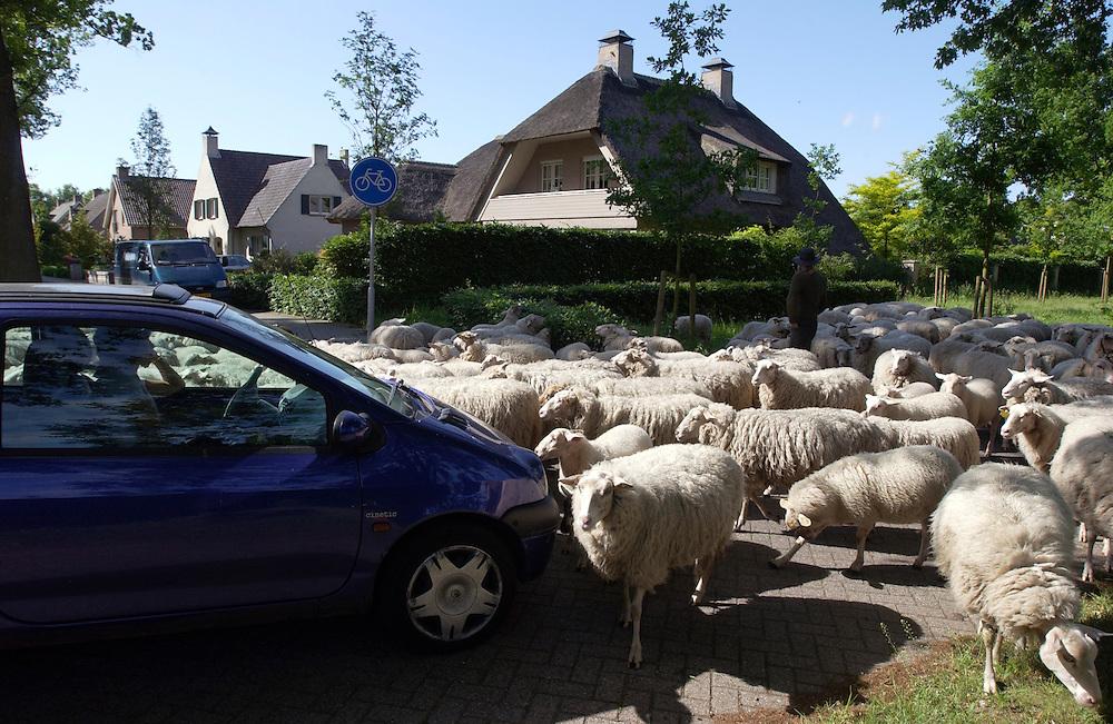 Nederland, Oisterwijk, 29-5-2002.Een kudde schapen wordt ingezet om bermen en openbaar groen te maaien. 300 schapen , twee hondenen een schaapherder en z'n assistent lopen dagelijks door het dorp en vreten bermen en plantsoenen kort. Soms moeten auto's even wachten. Het publiek vindt het over het algemeen leuk en gezellig..Schaapskudde..Foto (c) Michiel Wijnbergh/Hollandse Hoogte