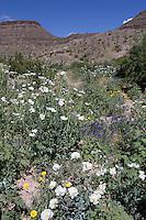 White Prickly Poppy, (Argemone polyanthemos), at Big Bend Ranch State Park, Texas